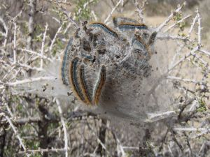 Western_tent_caterpillars_Malacosoma_californicum_in_Joshua_Tree_NP