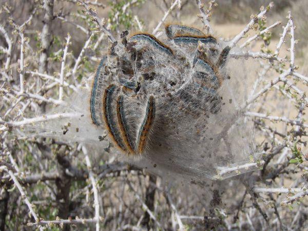 Western_tent_caterpillars_Malacosoma_californicum_in_Joshua_Tree_NP
