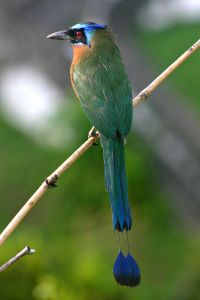 800px-Blue-crowned_Motmot_back_2