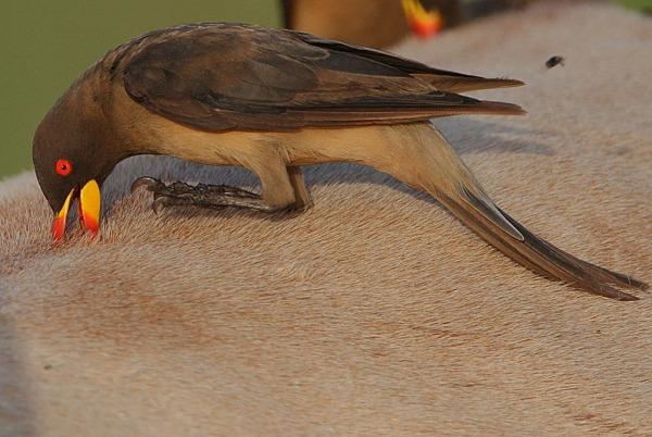 Flickr_-_Rainbirder_-_Yellow-billed_Oxpecker_(Buphagus_africanus)