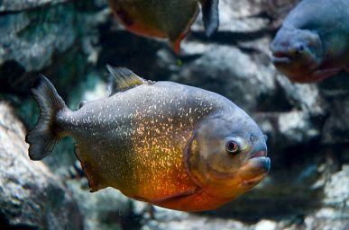 Red-Bellied Piranha (Pygocentrusnattereri)
