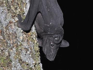 Hairless Bat (Cheiromelestorquatus)