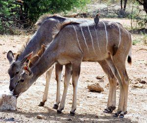 Oxpeclers_on_Kudu