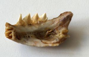 Piranha.jaw