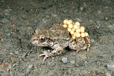 Midwife Toad (genusAlytes)