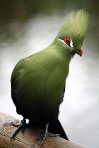 800px-tauraco_persa_captive_-_birds_of_eden