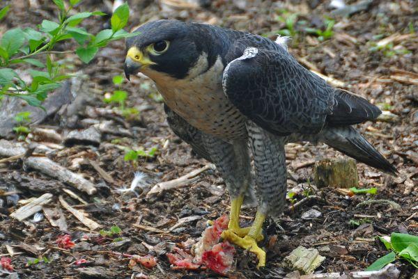 falco_peregrinus_-nova_scotia_canada_-eating-8
