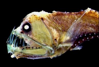 Manylight Viperfish (Chauliodussloani)