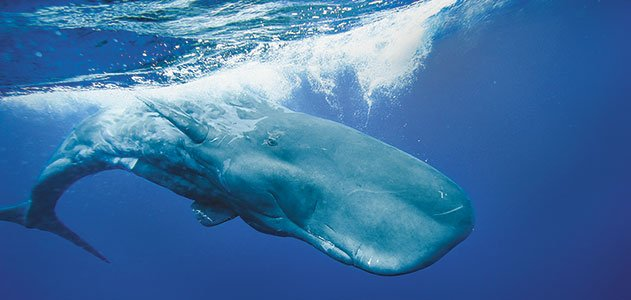Sperm-Whales-631.jpg__800x600_q85_crop.jpg