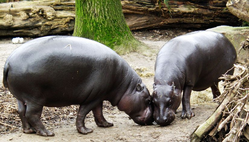 Zwergflusspferd_-_Pygmy_Hippopotamus_-_Hexaprotodon_liberiensis.jpg