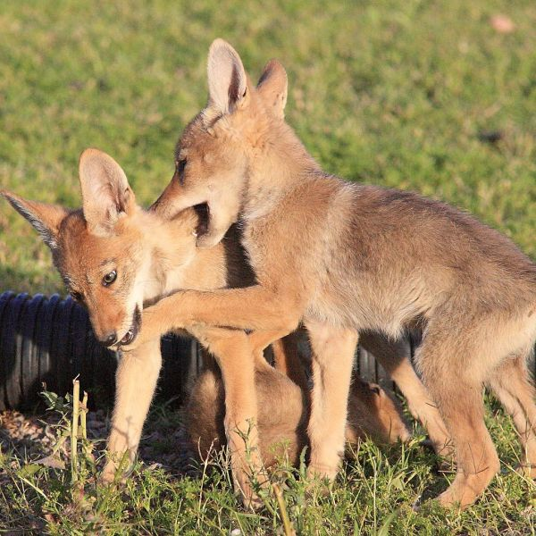 1024px-gpa_bill_coyote_pups_3