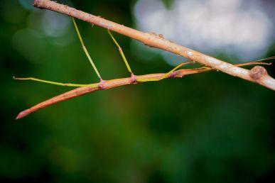 Common Walking Stick (Diapheromerafemorata)