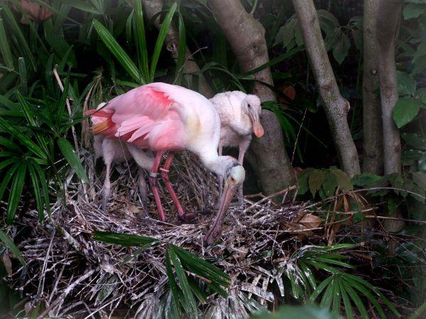 platalea_ajaja_-parent_and_two_chicks_on_nest-8a