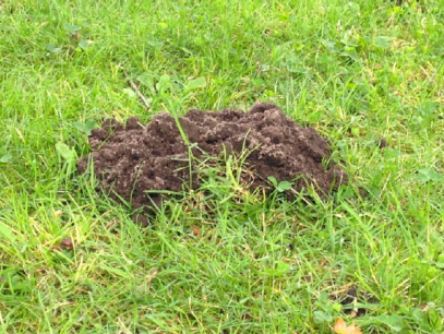 Clear evidence of the existence of the common Lawn Mole. Like most mole hills, this is not as big as it looks. Image source: Author's collection