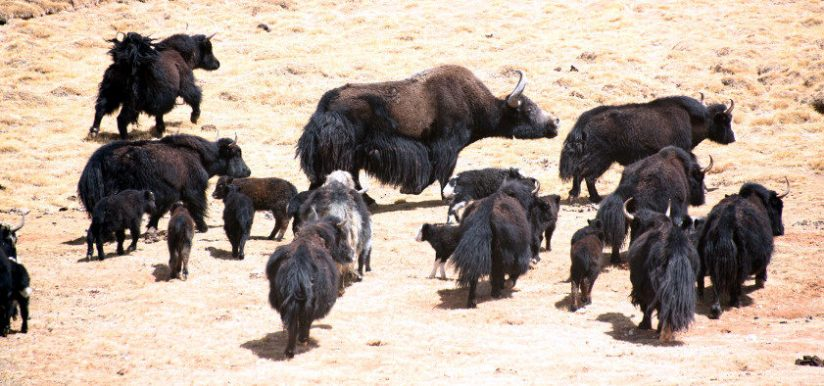 11a_06_05bis_xuchang_liang_a_wild_yak_mixed_in_domestic_group_web_size (1).jpg