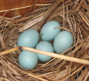 bluebird_eggs