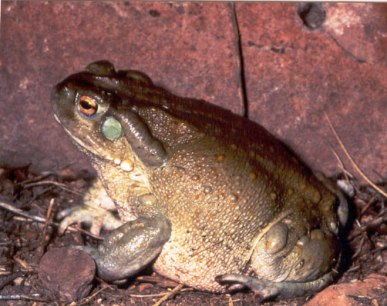 Colorado River Toad (Incilius alvarius)