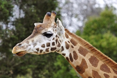 Giraffe (genus Giraffa)