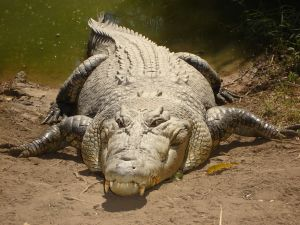 saltwater_crocodile
