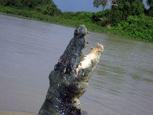 saltwater_crocodile_crocodylus_porosus_8851846180