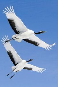 800px-grus_japonensis_in_flight_at_akan_international_crane_center