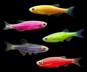 glofish-danio-group_1024x1024