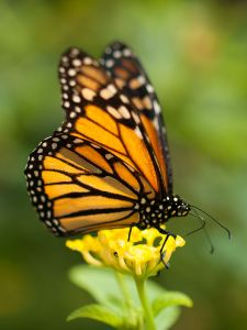 monarch_butterfly_in_grand_canary