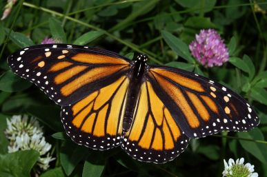 Monarch Butterfly (genus Danaus)