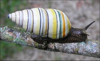 Liguus Snail (genusLiguus)