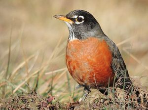 440px-american_robin_close-up