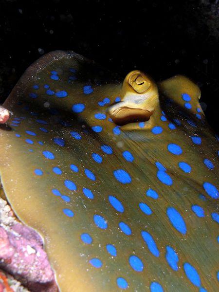 800px-blue_spotted_ray_komodo