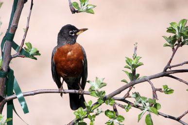 American Robin (Turdusmigratorius)