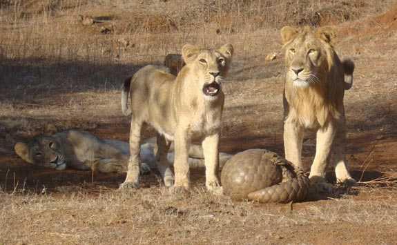 pangolin_defending_itself_from_lions_gir_forest_gujarat_india