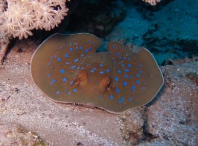 Bluespotted Fantail Ray (Taeniuralymma)