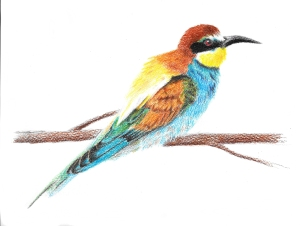 bee-eater drawing