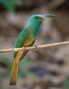 Blue-bearded_bee-eater_in_Thailand