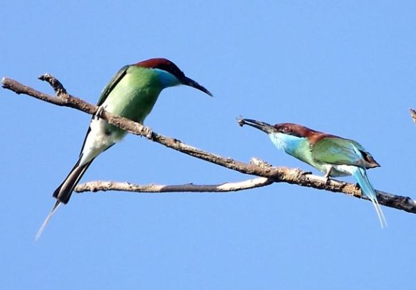 Blue-throated_Bee-eater_Courtship_offering