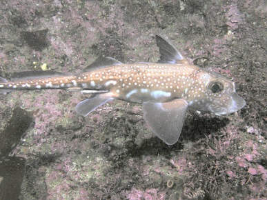 Spotted Ratfish (Hydrolagus colliei)