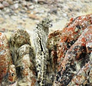 Snow_Leopard_in_Ladakh(_Photo_by_Tashi_Lonchay)