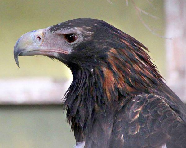 Aquila_audax_-Symbio_Wildlife_Park,_New_South_Wales,_Australia_-head-8a