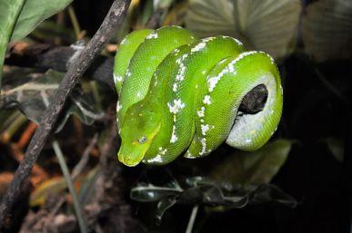 Green Tree Python (Moreliaviridis)
