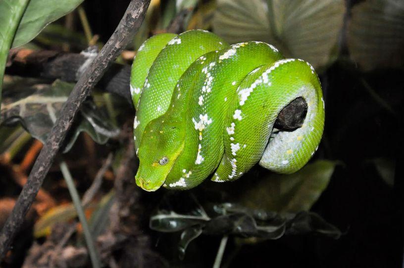 Green Tree Python (Morelia viridis) – Our Wild World