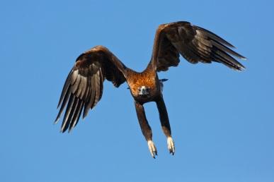 Wedge-Tailed Eagle (Aquilaaudax)