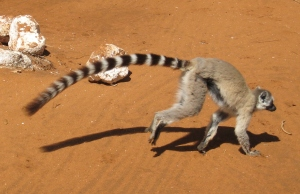 Lemur_catta_-_tail_length_01