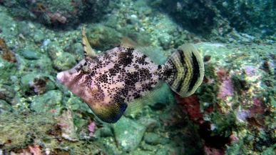 Filefish (Family Monacanthidae)