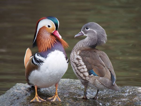 Pair_of_mandarin_ducks