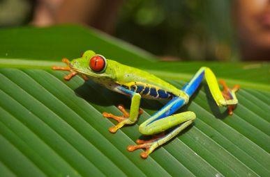 Red-eyed Tree Frog (Agalychniscallidryas)