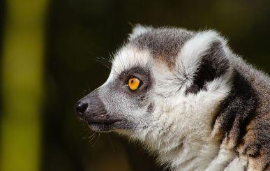 Ring-tailed Lemur (Lemurcatta)