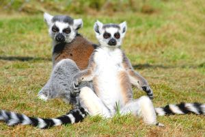 Ringtailed_lemurs