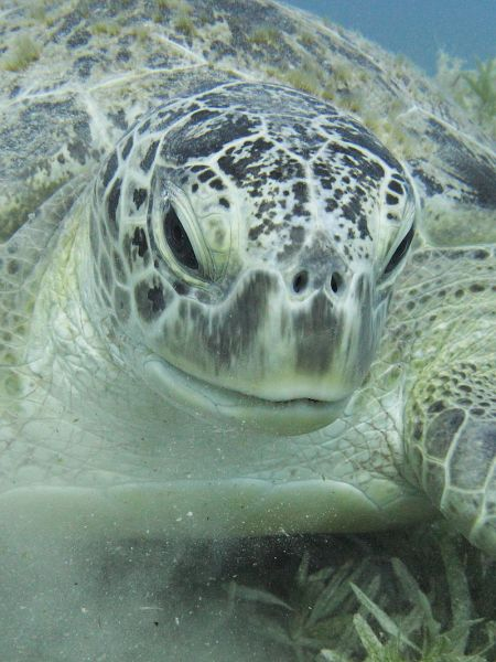 800px-Green_sea_turtle_portrait